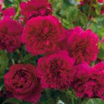 rosier thomas becket
