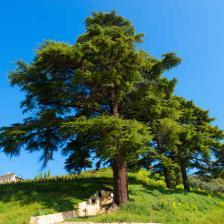 Conif re - Cedre bleu du liban ...