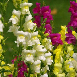 Muflier  superbe fleur annuelle