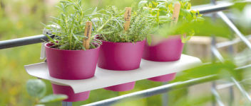 plantes aromatiques culture