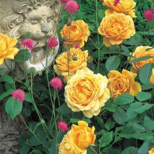 Des rosiers sans maladies voici les gestes importants - Maladie du rosier ...