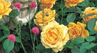 Taille du rosier anglais p riode et technique de taille - Rouille rosier traitement naturel ...
