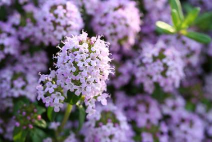 Wild thyme, an ornamental condiment