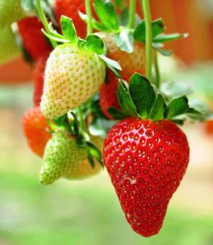 R ussir la culture des fraisiers pour avoir de belle fraises Jardinerie par correspondance