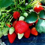 Fraisier fraises