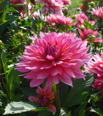 dahlia label rouge