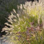 Gramin es des plantes faciles d 39 entretien for Quand tailler les graminees