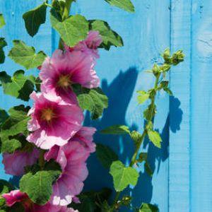 Rose tr mi re bien semer planter et entretenir les roses tr mi res - Planter des roses tremieres ...
