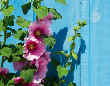 Hollyhock, colorful and beautiful