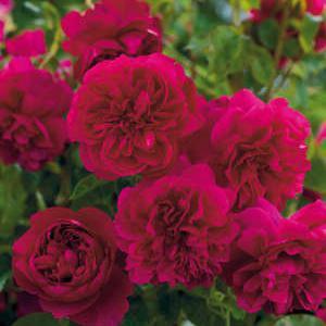 roses anglaises parfum es et romantiques. Black Bedroom Furniture Sets. Home Design Ideas