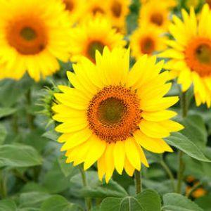Tournesol  une fleur de toute beauté !