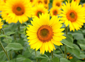 tournesol : semis, plantation et conseils d'entretien