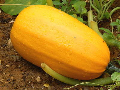 Spaghetti squash, surprising flesh