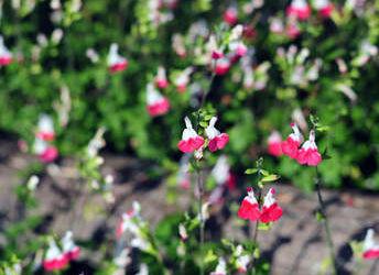 Sauge de graham tous les conseils d 39 entretien for Plante arbustive fleurie