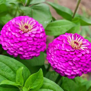 comment planter zinnia