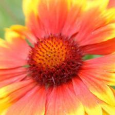 Gaillardia, bursts of color
