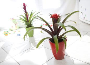Guzmania entretien rempotage arrosage - Plante exotique d interieur ...