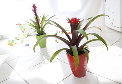 Guzmania, exotic and colorful