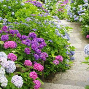 Hortensia plantation taille et conseils d 39 entretien - Faut il couper les fleurs fanees des hortensias ...