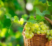 vigne et raisin