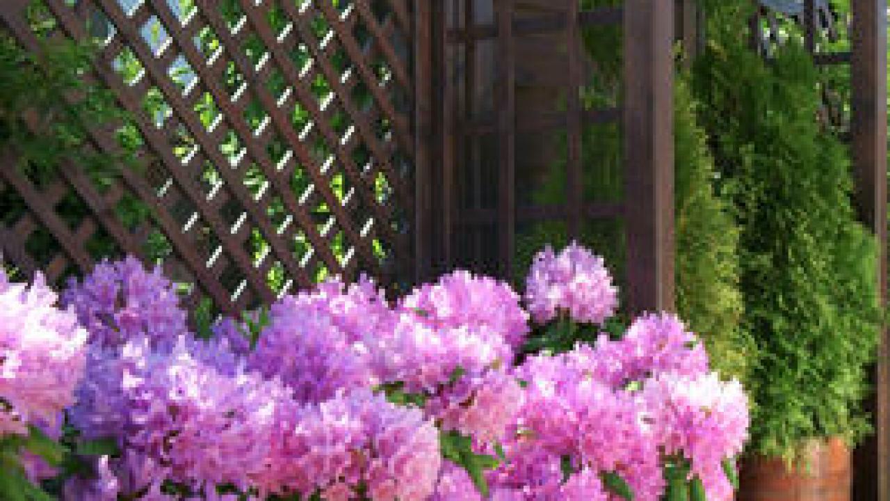 Arbre En Pot Terrasse rhododendron en pot : entretien, taille, rempotage