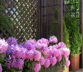 La culture des azal es et rhododendrons en pots for Www jardiner malin fr