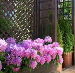 rhododendron en pot