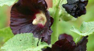 Rose tr mi re bien semer planter et entretenir les roses tr mi res - Semer roses tremieres septembre ...