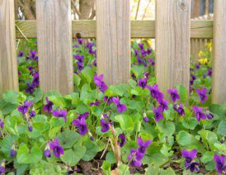 violette fleur - viola cornuta