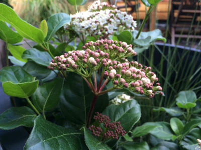 Viburnum tinus lisarose