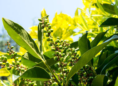 Cherry laurel, a nice shrub for hedges