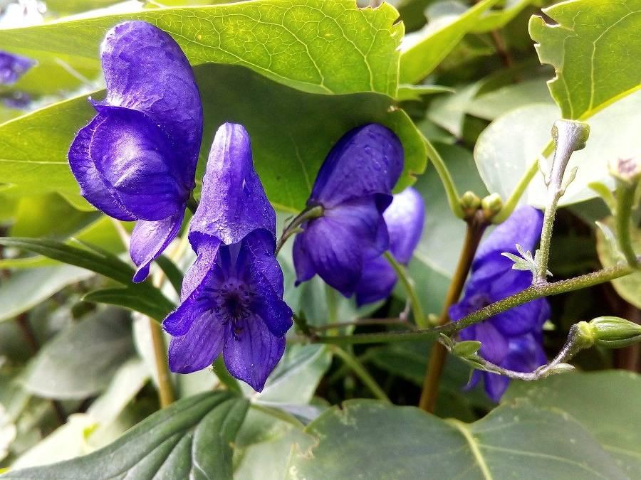 Aconit fleur