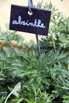 Absinthe - growing and caring for the plant
