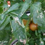 tomato tomato pinworm, leafminer