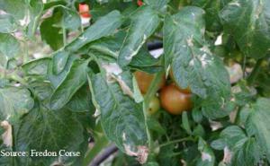 Mineuse de la tomate lutte et traitement bio - La mineuse des agrumes ...