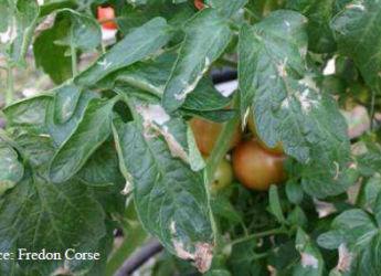 Mineuse de la tomate lutte et traitement bio - Maladie poireau mouche mineuse ...