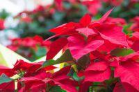 faire rougir feuilles poinsettia