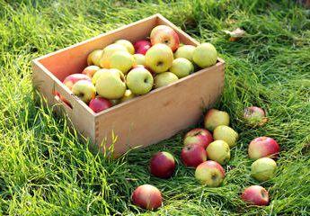 Conserver les pommes techniques de conservation - Comment conserver des pommes coupees ...