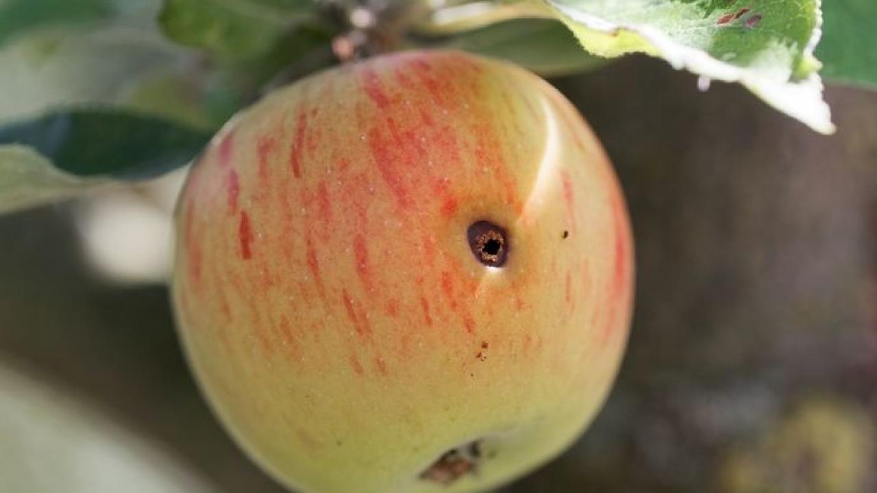 Comment Eliminer Les Moucherons Des Fruits ver des fruits, carpocapse : traitement et lutte bio