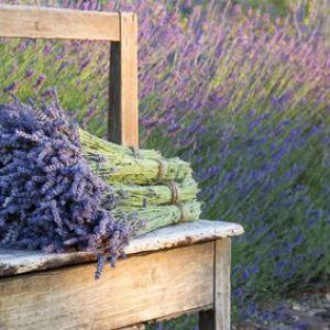 lavande plantation entretien et taille des lavandes. Black Bedroom Furniture Sets. Home Design Ideas