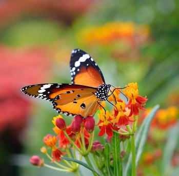 pesticide et papillon