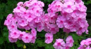 Veronique une plante fleurie facile d 39 entretien for Plante arbustive fleurie