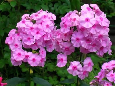 Phlox, a cute herbaceous flower