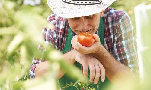 tomate jardin