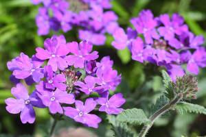 Verveine des jardins : conseils d\'entretien