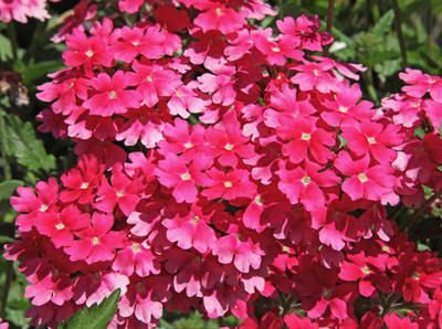 Verveine des jardins : conseils d'entretien