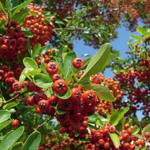 Fire thorn pyracantha planting pruning and care - Quand tailler les rosiers buisson ...
