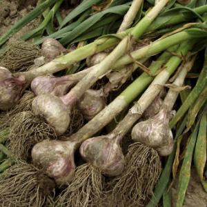 Ail culture plantation et r colte - Recolte de l ail ...