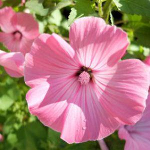 Lavat re plantation taille et conseils d 39 entretien - Fleurs vivaces longue floraison ...