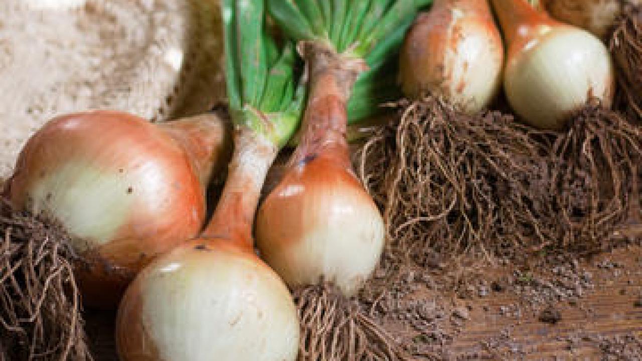 Oignon Blanc A Planter oignon : culture et récolte du printemps à l'automne